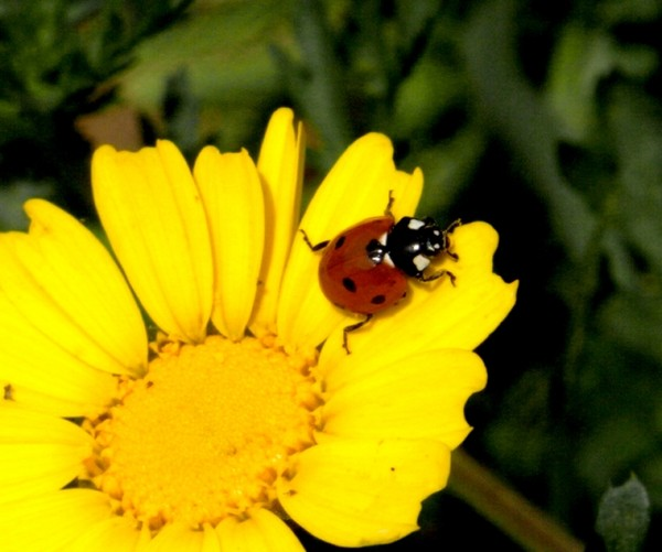Coccinelle. 659311a4