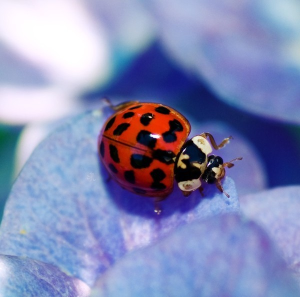 Coccinelle. 8b6f6796