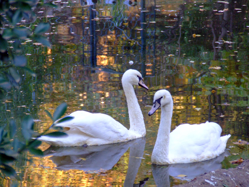 White-swans-on-water-during-autumn.jpg