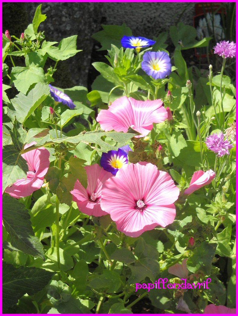 Fond ecran fleurs - Fleur de jachere ...