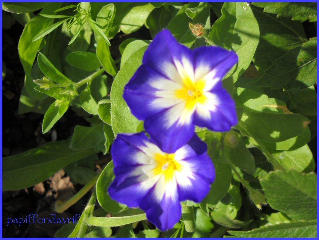 Fonds ecran fleurs mes photos page 10 - Fleur de jachere ...